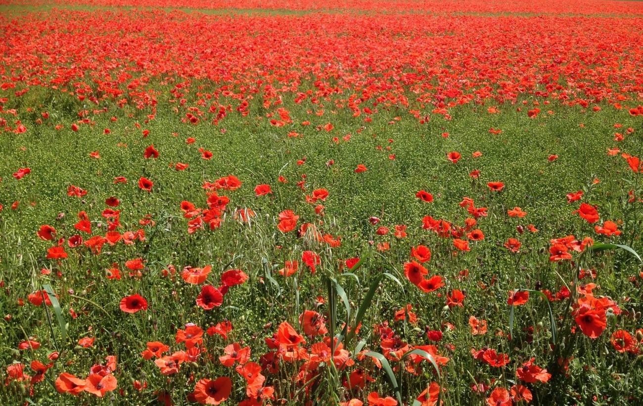 Poppy Field Salisbury