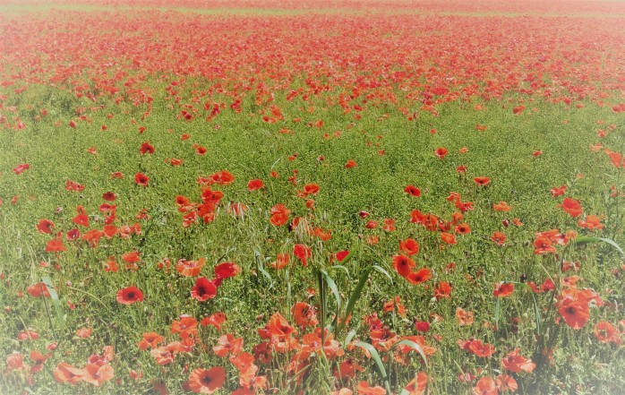 Poppy Field Salisbury Blog 2018
